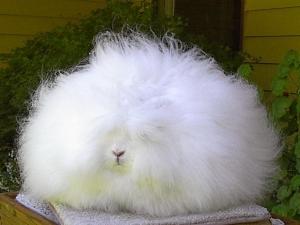 angora-rabbit-4[3]