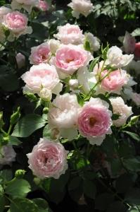 バラの冬支度3
