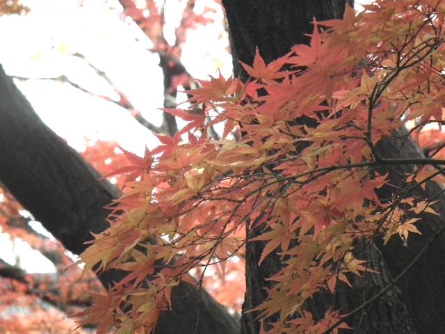 後楽園の紅葉(2)