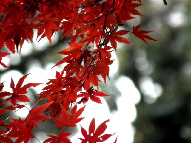 後楽園の紅葉(8)