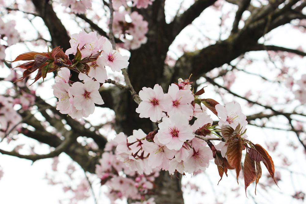 医食同源オーガニックレシピBIOキッチンヨーロッパ桜