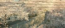 春。桜が咲いている。
