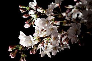 320px-Sakura,_Yozakura_light-up_2010_-_Flickr_-_nekonomania_(13)