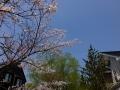 2016critter-someiyosino-mankai5-web600.jpg