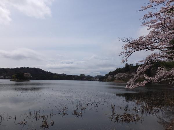 2016nakokoen-sakura14-web600.jpg