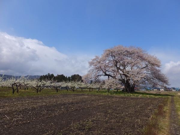 2016umanohakanotanemakizakura7-web600.jpg