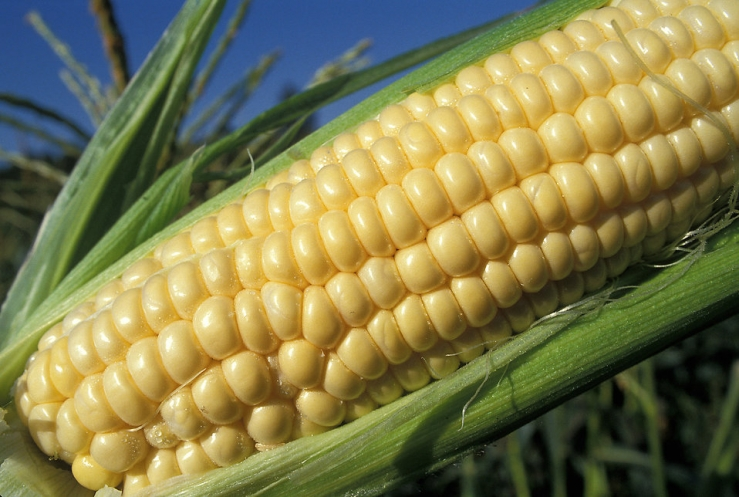 10041-close-up-of-an-ear-of-corn-in-a-field-pv.jpg