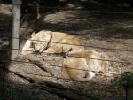ライオンお昼寝