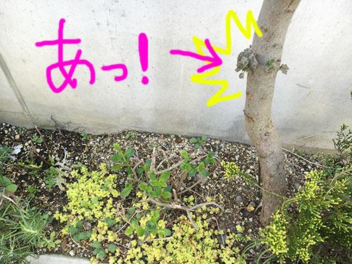 ユーカリに芽が