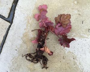 ヒューケラ わさび茎