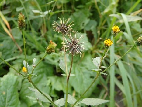 「コセンダングサ ~黄色の頭花とひっつき虫」
