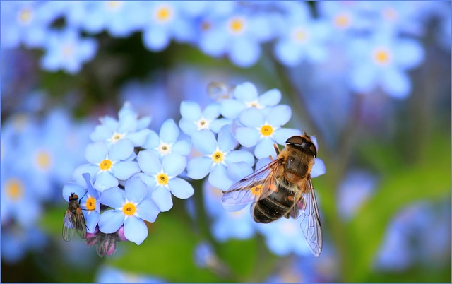 forget-me-not-257176_640.jpg