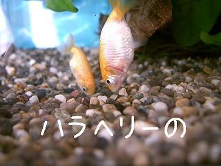haraheri-no2.jpg