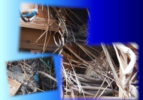 ルリガシラ2回目の巣作り