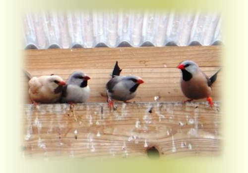 キンセイ新鳥たち