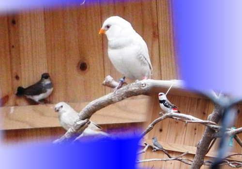 自育ヒナ2羽巣立ち