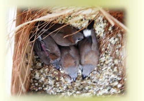 ノーマル雛4羽