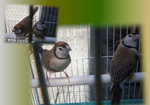 鳥友のシナモン