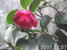 camellia_sasanqua111207a