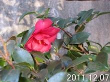 camellia_sasanqua111207b