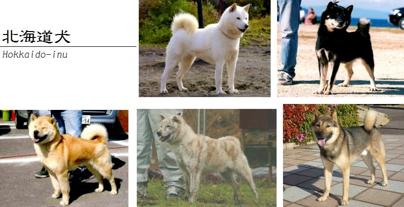 北海道犬画像04