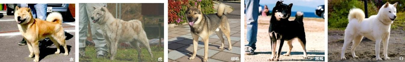 北海道犬画像05