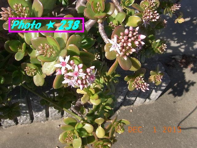 金のなる木の花①