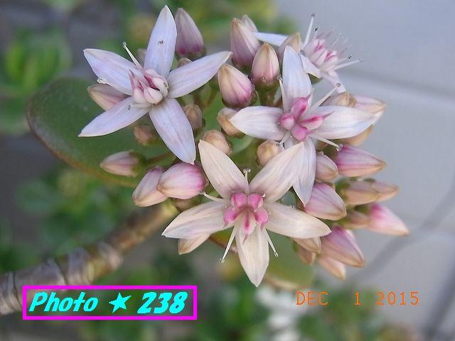 金のなる木の花③