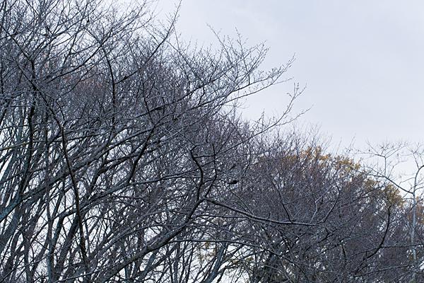 枯れ桜の木