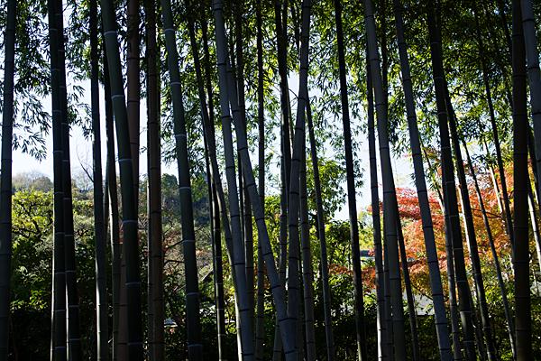 竹林と犬山城天守