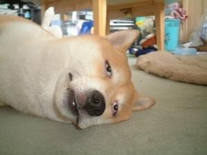 目が死んでる犬