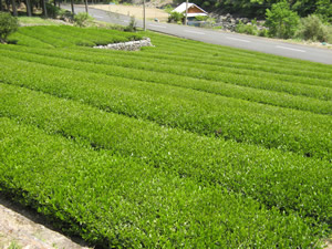 因尾茶 茶畑