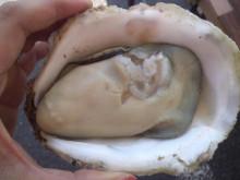 蒲江の岩牡蠣