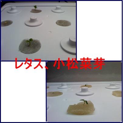 11月28日レタス、小松菜芽