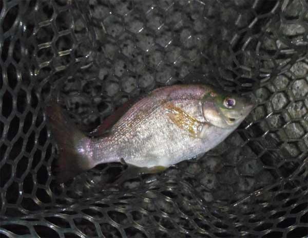 何この魚?