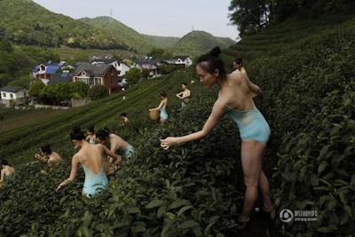 中国・杭州 レオタード美女軍団茶摘 3