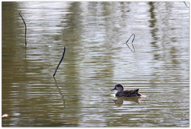 青森県 平川市 猿賀神社 猿賀公園 野鳥 写真 コガモ 雌