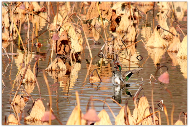 青森県 平川市 猿賀神社 猿賀公園 野鳥 写真 コガモ 雄