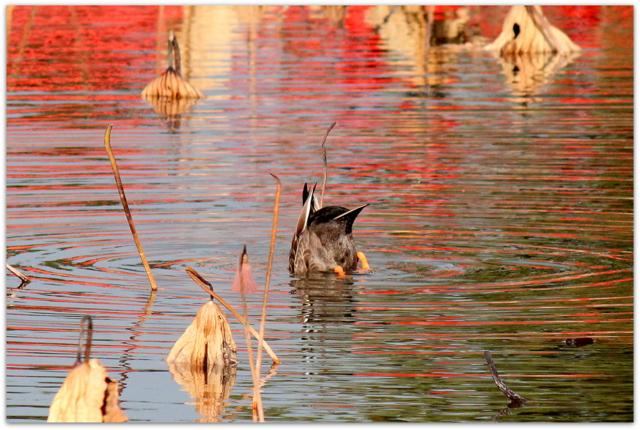 青森県 平川市 猿賀神社 猿賀公園 野鳥 写真 カルガモ