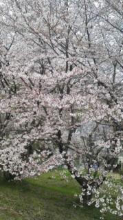 四月二日桜