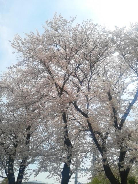 四月六日桜
