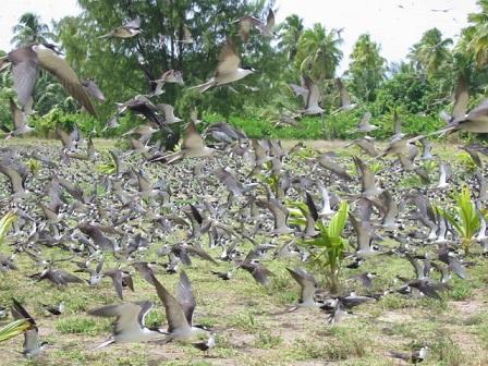 セグロアジサシの群舞(バード島)