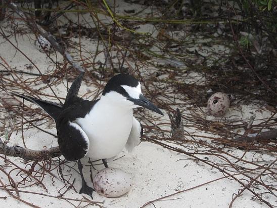 IMG_0728抱卵するセグロアジサシ(バード島) 鳥と卵