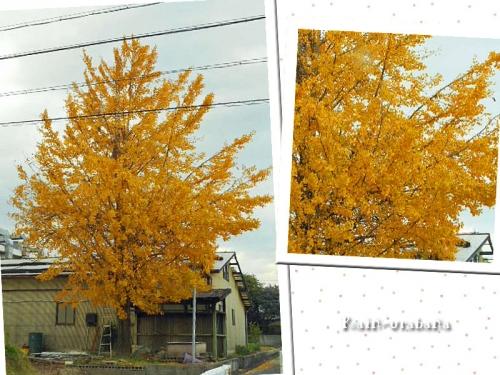 近所のイチョウの木♪