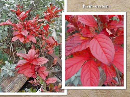 シャラの木の紅葉♪