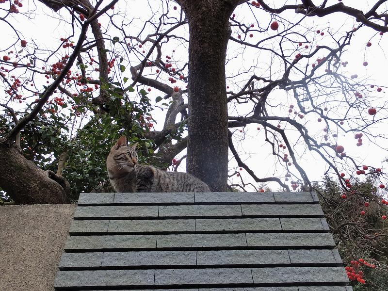 柿とキジトラ猫