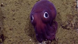 タコのようなイカ 深海生物