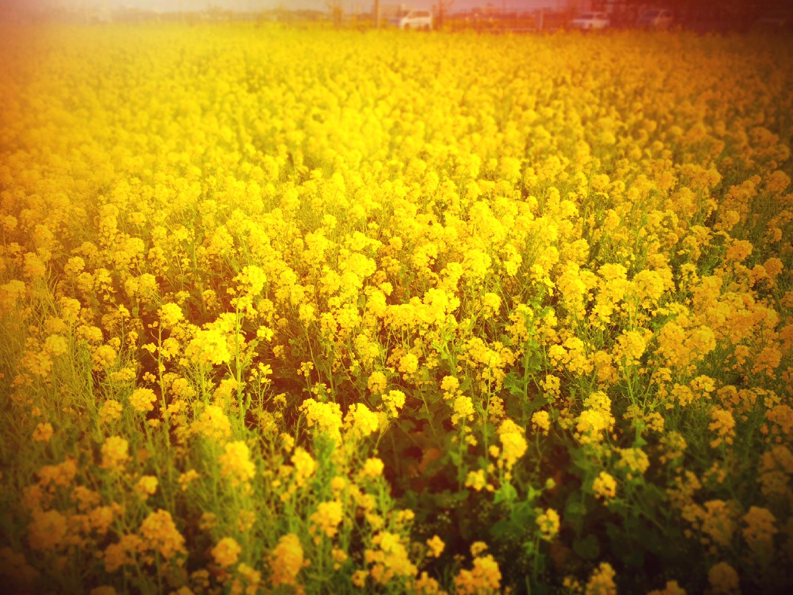 鴨川菜の花