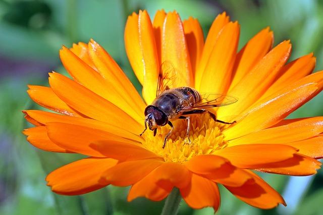 marigold-1525693_640.jpg