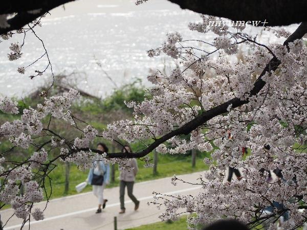 2015 桜3